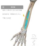 肩こりや肩の動作痛には前腕の骨間膜へのアプローチも大事