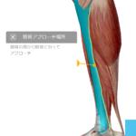 足のむくみや慢性疲労は脛骨と腓骨を狙え