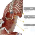 呼吸が浅いと腰痛になる? 横隔膜と腹横筋の関係、横隔膜と大腰筋の関係