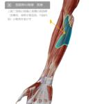 筋肉の重なりを触診したことありますか? 上肢のアプローチ