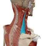 肩こりの知らない事実 肩甲挙筋と前鋸筋の見落としてるアプローチ