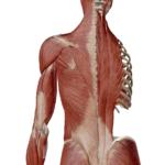 脊柱起立筋の勘違い ~これを知らないと痛みやコリの原因を間違います~